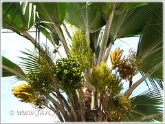 Pritchardia pacifica (Fiji/Pacific Fan Palm): buds/flowers/fruits, March 27 2011