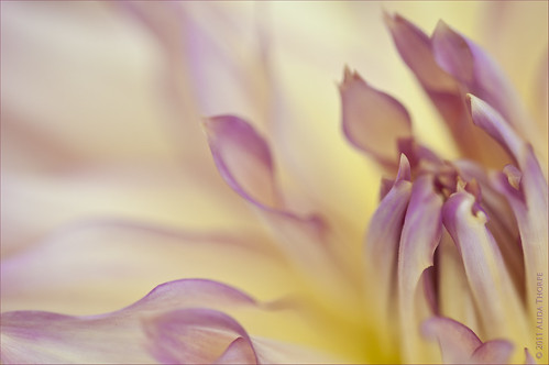 dahlia by Alida's Photos