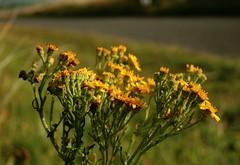 Creulys Iago / Louzaouenn-Sant-Jakez (Senecio jacobaea) - Ynys-las, Ceredigion (Rhisiart Hincks) Tags: flowers yellow wales fleurs jaune cymru ceredigion loreak ynyslas blodau hori melyn ragwort yborth kembre bleunioù galesherria buidhe melen achuimrigh ragwts creulysiago bleujyow flùraichean