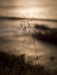 waiting (Minghua Nie) Tags: ocean sunset grass 50mm waiting mood takumar f14 longing onthewings minghuanie