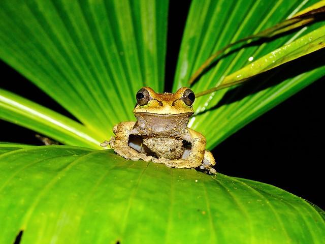 Masked tree frog (Smilisca phaeota)--John Dubicki (Flickr)
