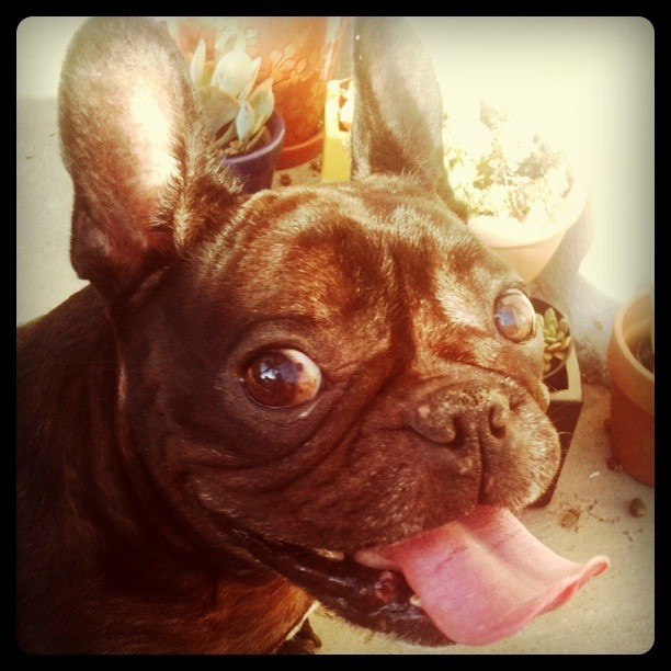 Giving me his best Stitch impression #LeRoy #Frenchbulldog #Frenchie