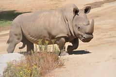 Rhino at the San Diego Wild Animal Park