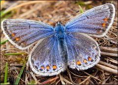 Common Blue - female (Kevin Pendragon) Tags: charterhouse wonderfulworldofmacro
