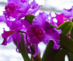Perfect In Purple (Jeff.Hamm.Photography) Tags: orchid flower saint photoshop 50mm prime louis nikon mo missouri bloom nikkor f18 stl orchidshow lightroom cs3 2011 d90 colorefex niksoftware dishippy