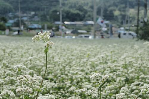 북천 코스모스 축제 2011