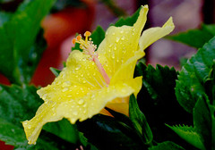 Hibiscus, spic and span after a  shower (Benissiva Calling) Tags: flower yellow flor amarillo hibiscus raindrops hibiscuswonder