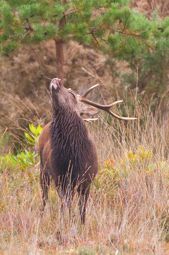hairy-stag-vertical-s