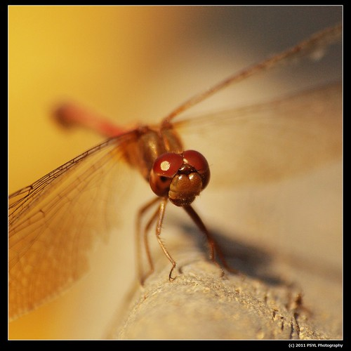 White-faced Meadowhawk (Sympetrum obtrusum)
