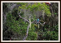Trogon de la Hispaniola - Papagayo (Priotelus roseigaster) (Dax M. Roman E.) Tags: lavega republicadominicana piragua cordilleracentral priotelusroseigaster trogondelahispaniola reservacientificaebanoverde lahispaniola rcev daxroman papagayodominicano