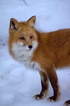 Rare Sierra Nevada red fox.