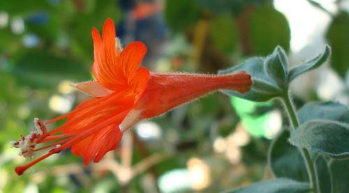 california fuschia