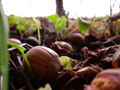 harvesting hazelnuts for helpx by Danalynn C