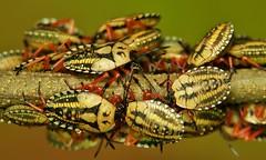 Dinidorid Shield Bugs Nymphs (Cyclopelta obscura, Dinidoridae) (John Horstman (itchydogimages, SINOBUG)) Tags: macro insect bug china true itchydogimages yunnan shield 2 hemiptera dinidoridae entomology