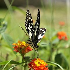 Butterfly on flower #3 [Explored] (e.nhan) Tags: life light flower art nature closeup butterfly spring colorful dof bokeh butterflies backlighting enhan