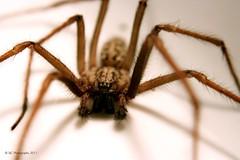 House Spider (Male) (Sair Jane) Tags: colour macro male spider scary flickr legs arachnid evil creepy domestic canon350d arachnophobia arthropoda longlegs arachnida araneae housespider tegenaria tegenariadomestica funnelwebweaver