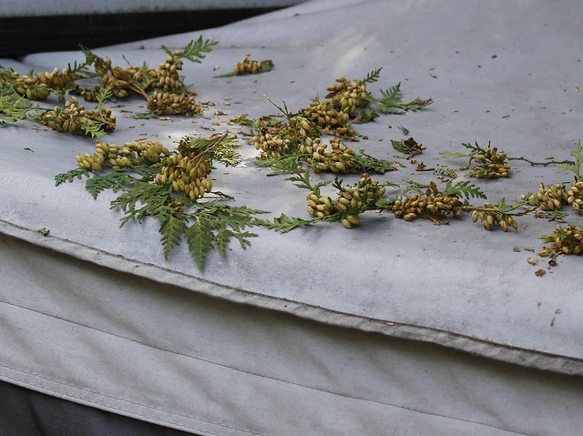 cedar seeds