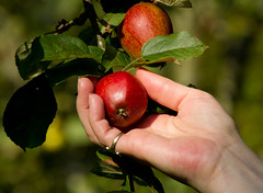 Picking red apples (Mukumbura) Tags: uk red england food sun tree apple leaves sunshine fruit hand bokeh harvest tasty somerset orchard palm ring eat apples pick collect handpicked ripening ripe summertimeuk