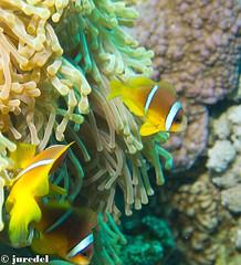 Nemo (juredel) Tags: wallpaper fish yellow jaune underwater nemo clown olympus scubadiving fonddcran fishred papierpaint epl1 mygearandme diveandphoto juredel flickrandroidapp:filter=none searedseamermer rougeanemoneanemon