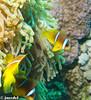 Nemo (juredel) Tags: wallpaper fish yellow jaune underwater nemo clown olympus scubadiving fonddécran fishred papierpaint epl1 mygearandme diveandphoto juredel flickrandroidapp:filter=none searedseamermer rougeanemoneanemon