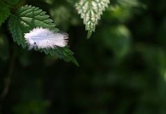 Im Wald III - berühr mich! (O.I.S.) Tags: wood white green danger contrast forest eos 50mm feather grün 18 kontrast wald nettle gefahr 30d brennnessel feder stinging weis