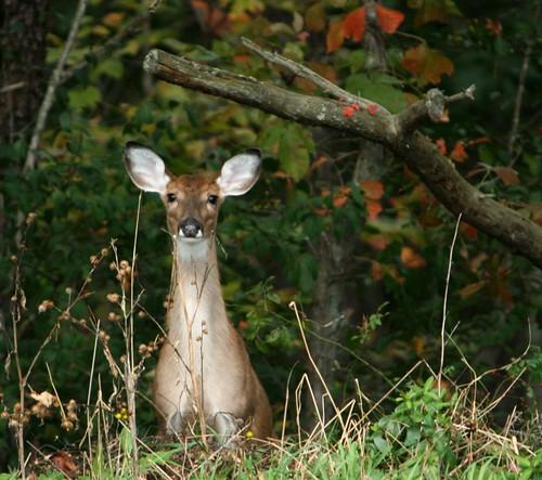 DeerSept2011