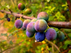 .dew berries. (nvangessel) Tags: morning trees england plants color nature water colors fruits closeup fruit sunrise lumix droplets branch berries purple britain small panasonic dew micro grapes waterdroplets 2010