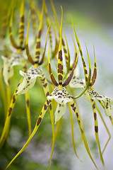 Spider Orchid (Jacky Parker Floral Art) Tags: portrait orchid flower macro art nature floral yellow vertical closeup spider flora orchids creative exotic greenhouse tropical bloom softfocus orientation glasshouse floralessence brassialawrenceana
