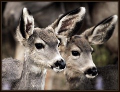 double deer (metherit) Tags: wild baby canon colorado doe deer fawn coloradosprings 50d 35350mm metherit