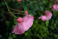 Raindrops on roses (chrisw09) Tags: pink autumn england green beautiful rose dof bokeh wells somerset raindrops delicate mendips bishopspalace sooc thelastroseofsummer