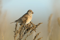 Linnet (Carduelis cannabina) (m. geven) Tags: brown nature animal fauna weed feeding nederland thenetherlands natuur finch dier avian wasteland bruin songbird avifauna gelderland fringillidae linnet foraging nld vink jaarvogel liemers cardueliscannabina kneu zangvogel gevleugeld zaadeter linottemlodieuse fourageren hnfling zomervogel doortrekker vinkachtige foerageren gemeentezevenaar onkruidzaad akkerrand braakliggendterrein nederlandthenetherlandsniederlande hnfling linottemlodieuse