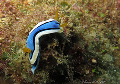 Chromodoris annae, Nudibranch okinawa (Okinawa Nature Photography) Tags: chromodorisannae nudibranchokinawaphotosbyshawnmiller