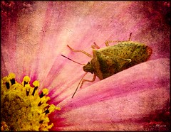 Flower Dweller (MEaves) Tags: flower color macro nature closeup bug insect bloom toned textured sigma70300 k20d pentaxk20d pentaxart blinkagain musictomyeyeslevel1 flickrstruereflection1