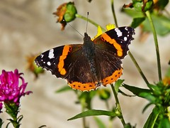 Red Admiral. (cazstar) Tags: butterfly redadmiral mygarden fantasticnature