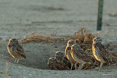burrowing owls (carachama) Tags: owl burrowingowl
