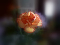 Bokeh rose (p.franche Occupé - Buzzy) Tags: belgium belgique bokeh carnation belgïe lx3 oeuillet ringexcellence pfranche