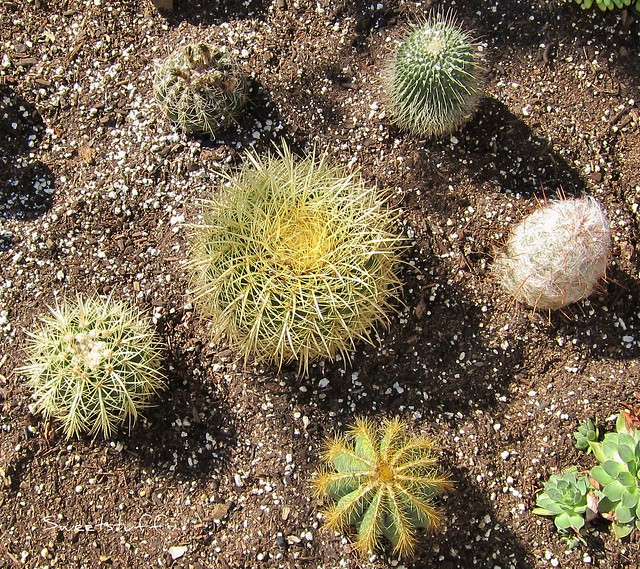Circle of cactus