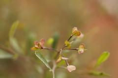 Hop Bush (louisa_catlover) Tags: plant nature garden spring australia victoria botanicgarden cranbourne 3977 royalbotanicgardenscranbourne cranbournebotanicgardens