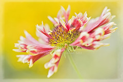 Autumn Fanfare (Jacky Parker Floral Art) Tags: uk flower macro nature horizontal closeup landscape flora single blanket bloom softfocus highkey gaillardia orientation perennials fanfare floralessence