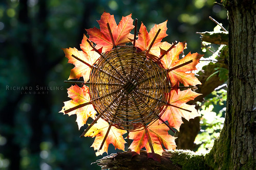 Norwegian Maple Autumn Fire Wheel by escher is still alive