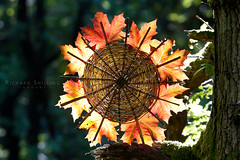 Norwegian Maple Autumn Fire Wheel (escher is still alive) Tags: autumn red sculpture sun colour leaves wheel circle leaf maple woods lancashire september norwegian willow woven weave ephemeral landart naturalart 2010 enviro holme grisedale enviroart andygoldsworthyhomage richardshilling
