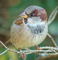This is a house sparrow. They live year-round in Toronto, hardy birds. (Ducklover Bonnie) Tags: toronto sparrow ancestors housesparrow dinosaurs