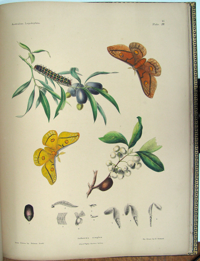 hand-coloured lepidoptera lithograph