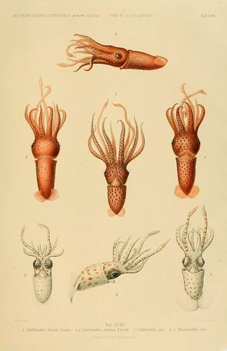 015-Die Cephalopoden 1910- Carl Chun