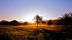[Morning Glory] (funky_koala) Tags: morning trees apple water fog sunrise wasser shadows nebel sommer wiese dew gras tau grassland sonne sonnenaufgang schatten baum apfel gruen ernte morgens metzingen badenwuerttemberg reutlingen obstwiese erntezeit