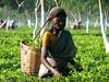 Tea picking lady in Assam (Linda DV) Tags: people woman india canon geotagged tea fields assam 2008 sevensisters teafields 7sisters northeastindia teapicking powershots5is lindadevolder