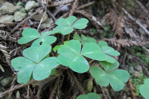 Redwood sorrel at Muir Woods, San Francisco