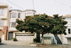 Lone Loquat (sf eyes) Tags: foundinsf contax167mt gwsf treesontuesday