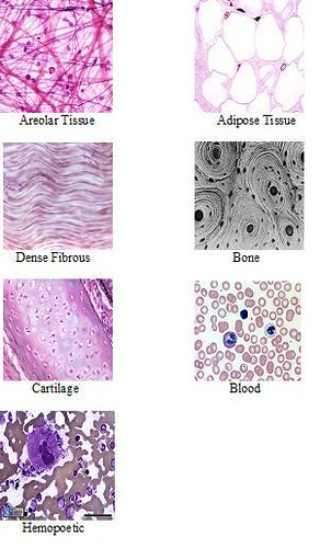 7 Connective Tissue Types