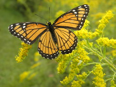 viceroy butterfly (gurdonark) Tags: park ohio creek butterfly state goldenrod monarch alum